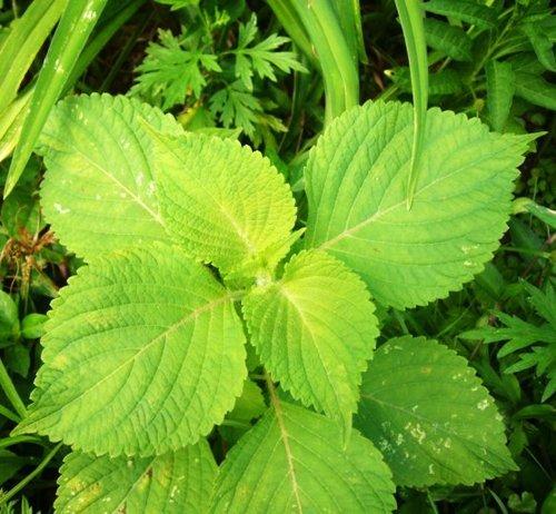 5 Graines Paquet 250 semences Frissé commune Perilla Perilla Frutescens Var Crispa Herb Seed D003