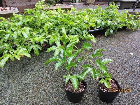 パッションフルーツの苗2本と米ぬか酵素肥料とオカラ堆肥 多年草なので最大で4年間収穫できます。鈴なりの実を育てる事も可能です
