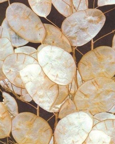 Lunaria annua - Silbertaler - Money Plant - 30 Samen