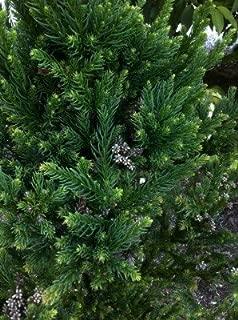 Pixies Gardens (3 Gallon) Black Dragon Japanese Cedar-Very Dark-foliaged Conifer, Dark Green Needles Become Blackish Green in Winter