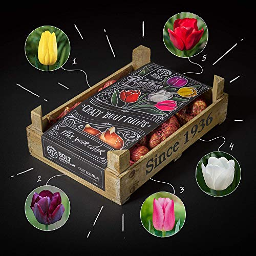 Tulip Box - Unicorn Treasure - by Bolt Amsterdam - Tulip Bulbs - 100 Pieces - Single Flowered – Mix of 5 Colours - High Quality & Fresh from Our own Nursery - Perfect Gift - 100% Flowering Guarantee