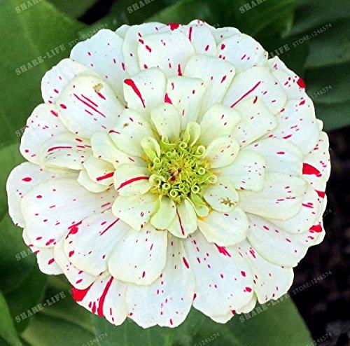 100PCS Zinnia Graines rares Variété chaleur Tolerant Jardin Fleur Plantes à fleurs en pot Charme chinois Fleurs Graines culture facile 1