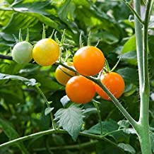Sun Sugar Tomato Seeds (20 Seed Pack)