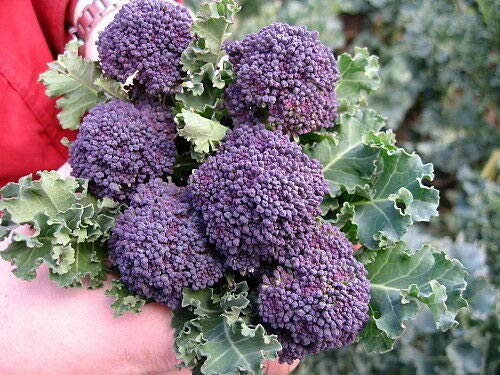 Santee Broccolini 25 Samen - Mini Lila Broccoli