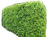 20 Piante Lauroceraso da giardino siepi siepe vaso 7 (20 vasi)