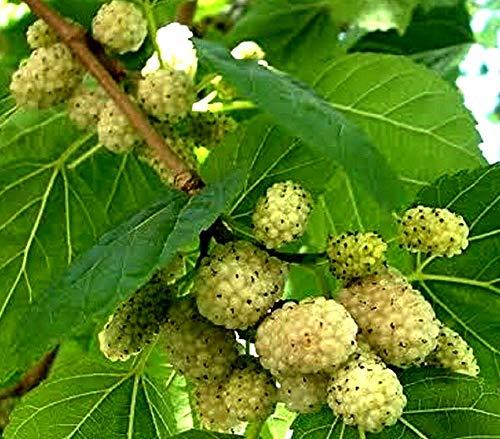 100 Weisse Maulbeere Samen, Morus alba, white Mulberry, leckere, süsse Früchte, Bonsai