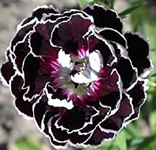velvet and lace dianthus