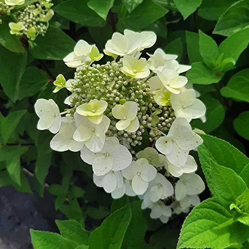 Müllers Grüner Garten Shop Rispenhortensie Mega Mindy ® Hydrangea paniculata rosa Blütenstände ca. 60-60 cm 3 Liter Topf