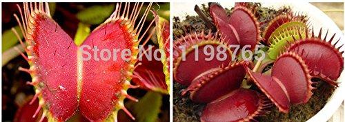 Clip 300pcs Dionaea Muscipula géant Venus Flytrap Graines Bonsai Plantes Fleurs Graines gaules Clip Dionaea