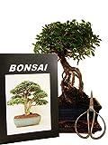 Anfänger Bonsai-Set Ulme im Neagari-Stil (jap.) =...