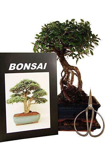 Anfänger Bonsai-Set Ulme im Neagari-Stil (jap.) = Wurzel-Stil, ca. 28cm, 4 teiliges Sparset (1 Ulmen-Bonsai, 1 Schere, 1 Untersetzer, 1 Bonsaibuch)
