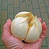 100pcs / bag acquatici multi-petali semi di aglio gigante verdura biologica Cucina bonsai condimento alimentare o pianta in vaso per la casa giardino 2