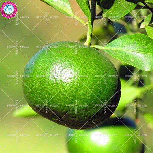 11,11 Big Promotion! 20pcs/lot géant graines orange tangerine orange graines de fruits d'arbres en pot dans le jardin et la maison plante herbacée organique aweet 2