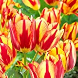 begorey Garten - Selten Regenbogen Tulpen Samen Entzückende Blumen Wohlriechende Tulpensamen Blumensamen Winterhart Mehrjährig Pflanze Blumen Saatgut für Ihr Garten, Terassen, Balkon