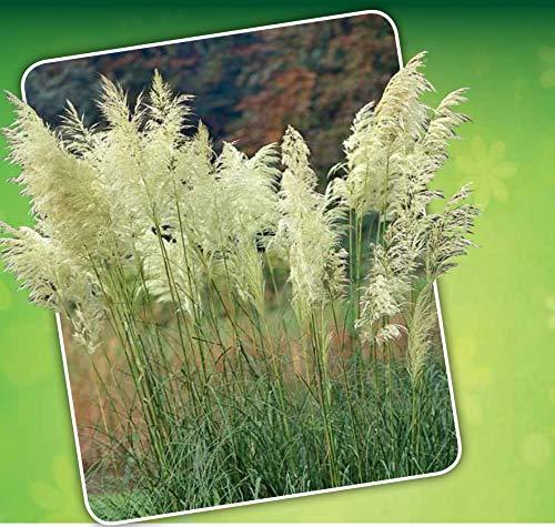 Cortaderia | Pampasgras | Heester | Pluim plant | per 1 | Siergras