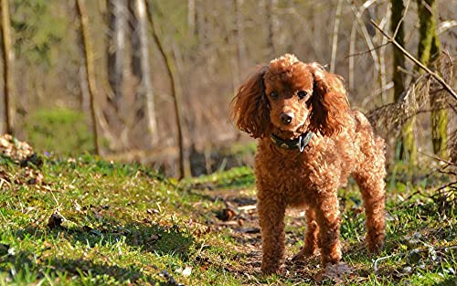 Verf op Nummers voor Volwassenen Bruin Hond Poedel Hond Digitale Olie Canvas Schilderij Kits voor Volwassenen Kinderen…