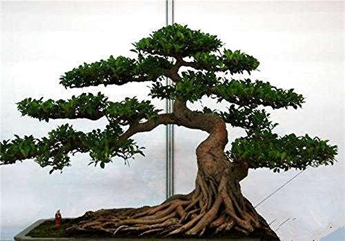20 pcs/sac Graines de pin noir vert graines de bonsaï Pinus thunbergii plantes Parl pour les plantes ligneuses vivaces droites de jardin à domicile 3