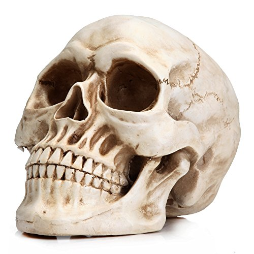 READAEER Life Size Human Skull Model 1:1 Replica Realistic Human Adult Skull Head Bone Model