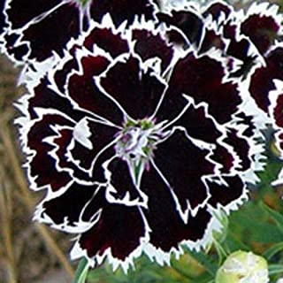 Black and White Dianthus Heddewigii Flower Seeds for Home and Garden #PLT