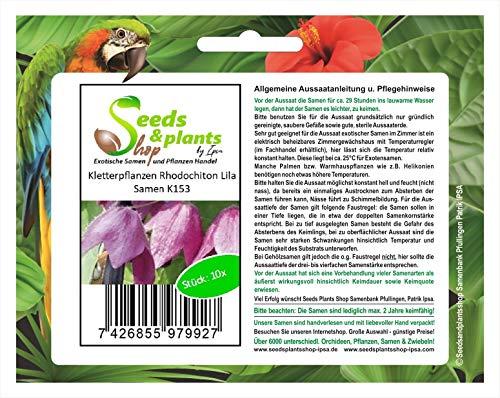 Stk - 10x Kletterpflanzen Rhodochiton Lila Samen Pflanze Garten Saatgut K153 - Seeds Plants Shop Samenbank Pfullingen Patrik Ipsa
