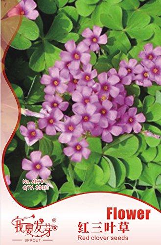 Paquet d'origine 200 Graines/Paquet, graines de trèfle pot rouge, jardin Quatre graines de trèfle feuilles, plantes de balcon Fleur rouge minette