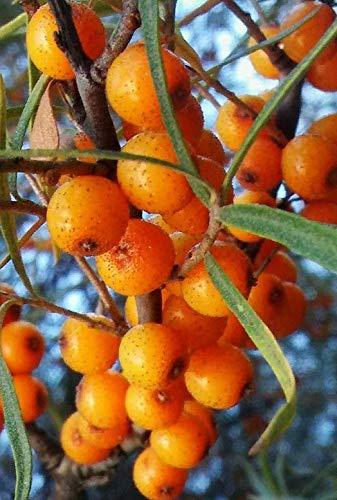FERRY HOCH KEIMUNG Seeds Nicht NUR Pflanzen: Schlehe YellowCFruit 100 Seeds