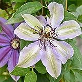 Bulbos de clemátide. Flores ornamentales. Adecuado para jardinería dentro y fuera del jardín. Plantas en macetas-14 Bulbos,4