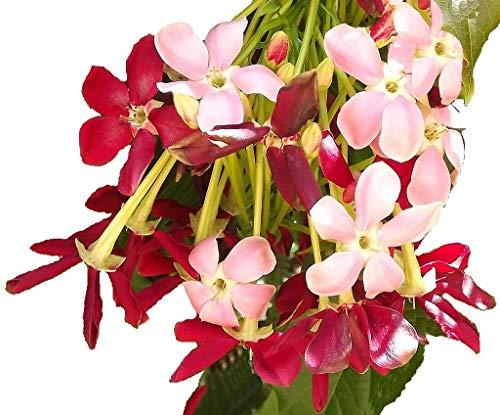 Best Climber plants -Rangoon creeper