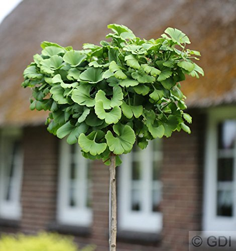 Hochstamm Fächerblattbaum 40-60cm - Ginkgo biloba