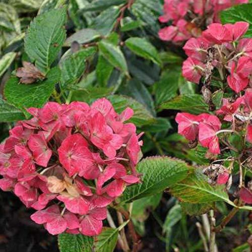 Hydrangea Macrophylla 'Alpengluhen'- Hortensia 'Alpenglühen' 25-30 cm en conteneur