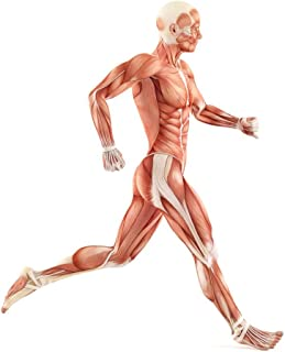 Wallmonkeys WM135540 Running Man Muscles Anatomy System Peel and Stick Wall Decals H x 30 in W, 30