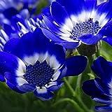 Kisshes Garden Seeds- Semillas de margaritas africanas, flores adorables semillas fragantes flores semillas de flores