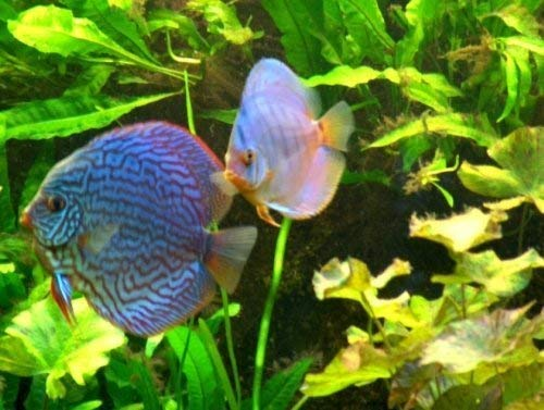 Mühlan Pflanzenhandel Wasserpflanzen Set für Diskus Aquarium 350-500 l