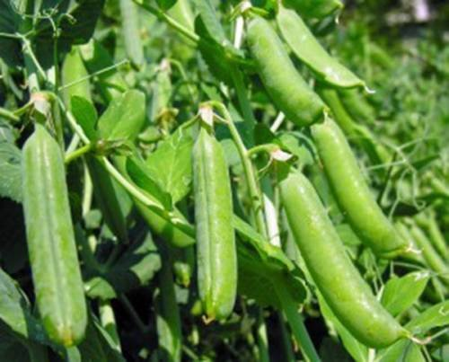 SEED PEA, THOMAS Laxton, Heirloom, ORGANIC, NON OGM, 100+ SEEDS, POIS PERFECT
