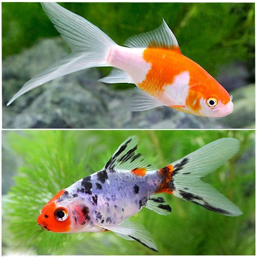 (国産金魚) 金魚セット(コメット+朱文金 各1匹) 本州・四国限定[生体]