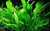 Tropica Aquarium Pflanze Echinodorus bleheri im Topf Topf Nr.071...