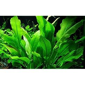 Tropica Echinodorus grisebachii 'Bleherae' im Topf