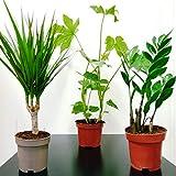 mix evergreen - pianta da interni in vasi da 12 cm, per giardino, ufficio, 3 o 6 6 plants