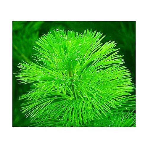 チャーム『メダカ金魚藻カボンババラ10本』