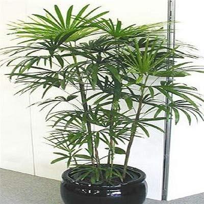 SANHOC Seltene Bambus Bonsai Ziergarten Bambusa ventricosa Bonsai Kraut Bonsai Anlage für DIY Hausgarten 50 PC/Beutel