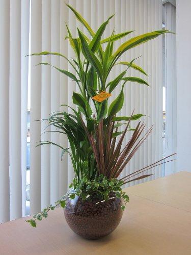 ハイドロカルチャー寄せ植え(ハイドロボール)かわいい丸いガラス鉢に寄せ植えした観葉植物です。ハイドロボールは無菌・無臭でとても清潔なので、いろいろな場所に飾って楽しめます。また贈り物にも最適です。