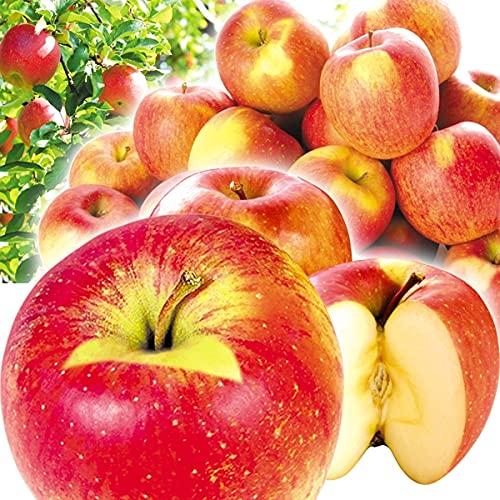 国華園 りんご 青森産 ご家庭用 葉とらずふじ 10�s 1箱 食品