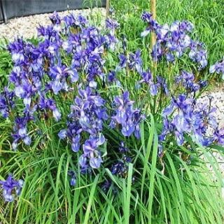 Outsidepride Iris Missouriensis - 2000 Seeds
