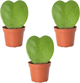 Best hoya heart plant care Reviews
