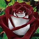 Soteer 100 Blumensamen Edelrose Rosensamen Regenbogen Rose Bunte Blumen Samen Bonsai für Ihr Garten Balkon Lange Blütezeit winterhart