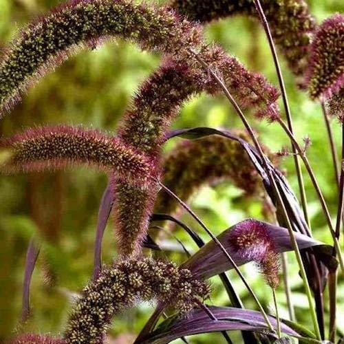 vegherb Frisch 1000 Seeds - Setaria Red Jewel Ziergrassamen