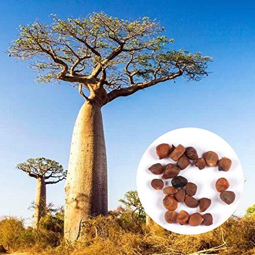 Acecoree Samen Haus 10 stücke Baobab Samen Adansonia digitata Samen Große Laubbäume Samen Im Freien Pflanzen