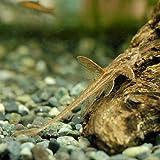 (熱帯魚)リネロリカリア・ランケオラータ レッド(1匹) 北海道・九州・沖縄航空便要保温
