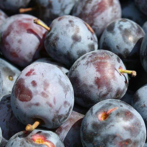 Su-eat 朝どれ 生プルーン 品種おまかせ 特選 1キロ 減農薬 長野県産 産地直送