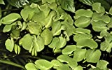 Tropica Salvinia auriculata 1-2-GROW!